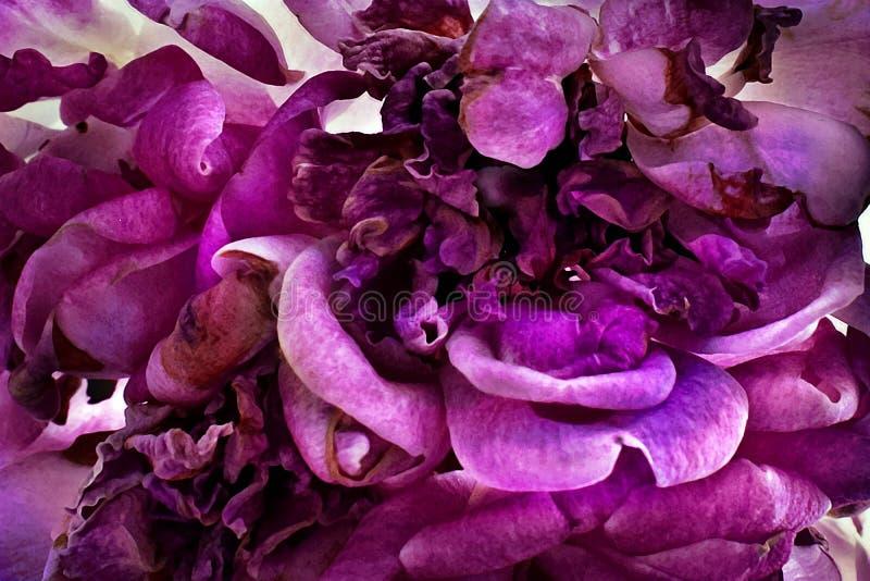 Macro tir des pétales roses violets de fleur images libres de droits