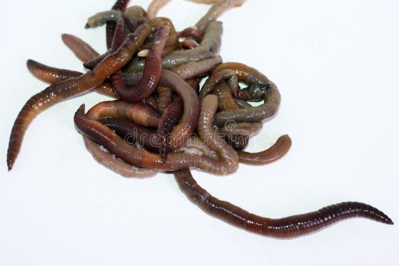 Macro tir des vers rouges de dendrobaena, amorce vivante de ver de terre pour la p?che photos stock