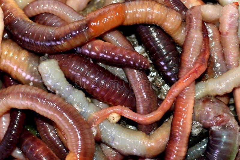 Macro tir des vers rouges de dendrobaena, amorce vivante de ver de terre pour la p?che photo libre de droits