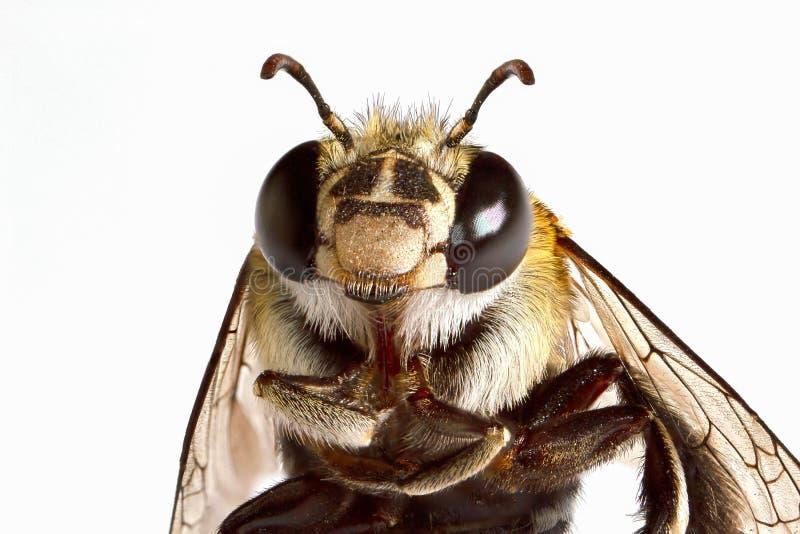 Macro tir principal superbe d'abeille image libre de droits