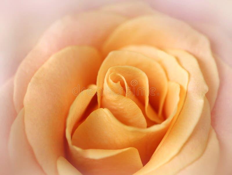 Macro tiro di Rosa su colore pastello morbido fotografia stock