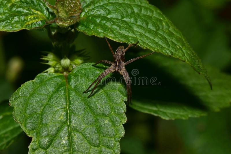 Macro top view of Caucasian brown spider Solpuga running on green nettle. Macro top view of a furry brown spider Caucasian Solpuga running on green leaves of stock photos