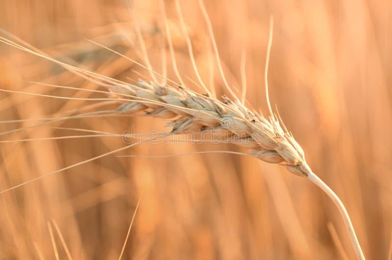 Macro transitoire de blé de photo photo libre de droits