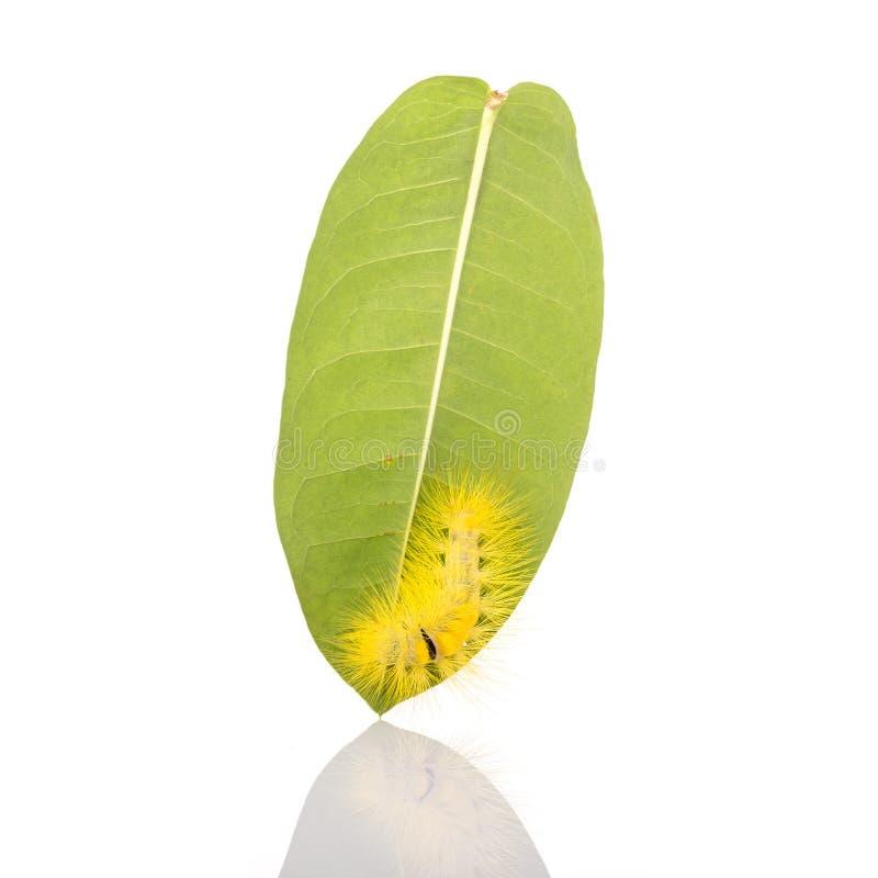 Macro trattore a cingoli simile a pelliccia giallo sulla foglia verde isolat del colpo dello studio fotografia stock libera da diritti