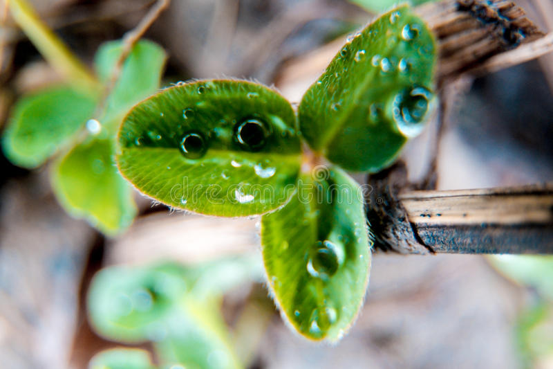 Macro trehlistnik della foto del trifoglio verde della - St patricks giorno fogli di colore giorno ...