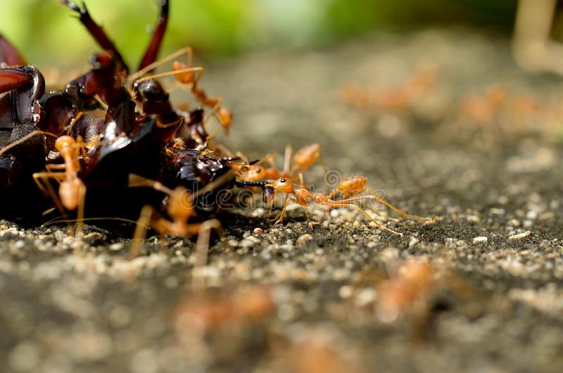 Macro of tropical red fire ants catching a prey. royalty free stock photography