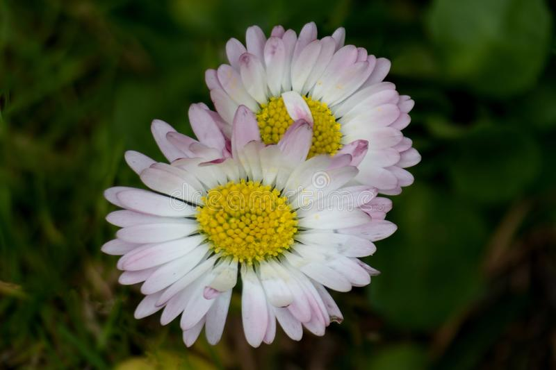 Macro stacking of two daisies stock images