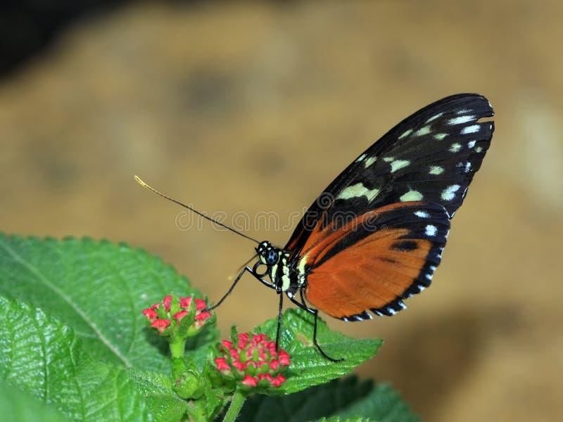 Macro u da borboleta imagem de stock royalty free