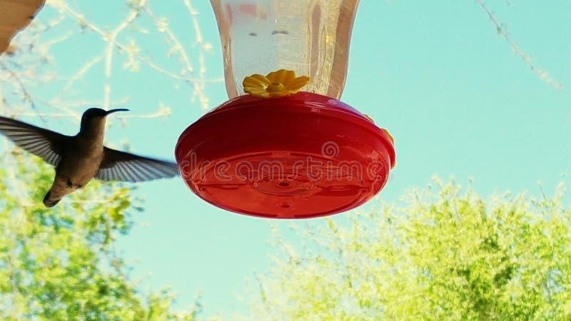 Macro uccello di ronzio del colpo immagine stock