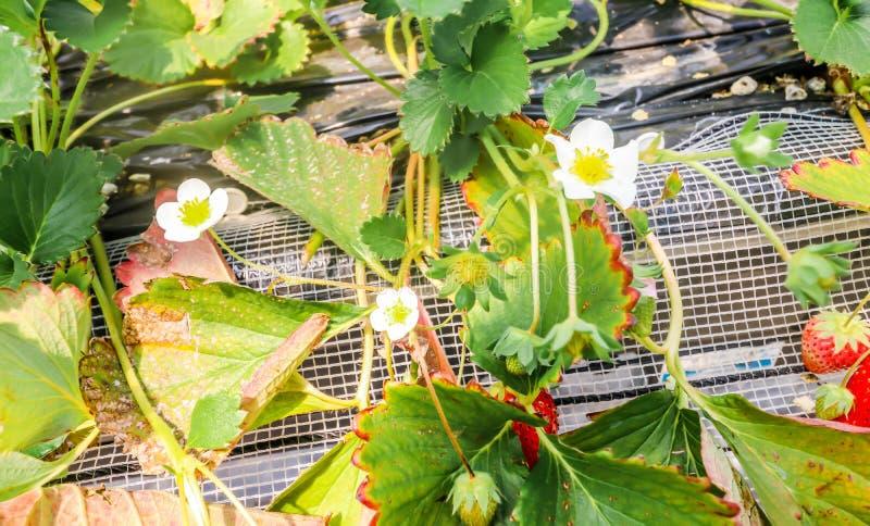 Macro van aardbeibloem en bladeren in aardbeilandbouwbedrijf, Chiba, stock foto's