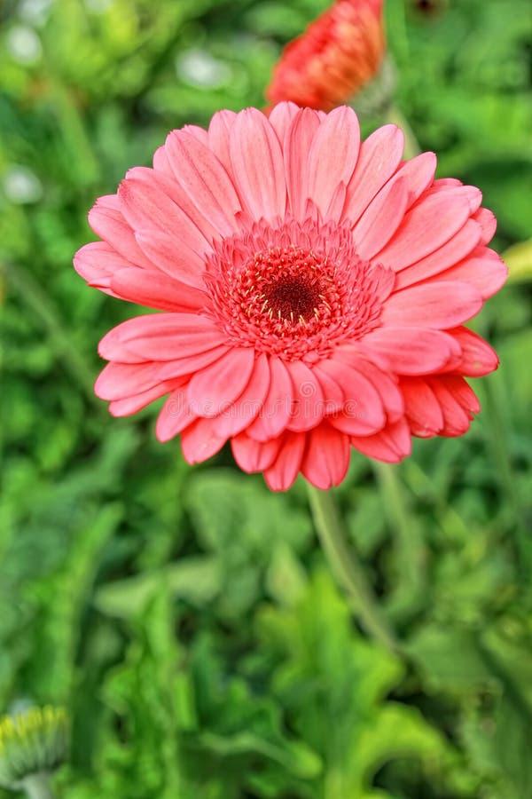 Macro van bloeiende mooie rode madeliefjebloemen stock afbeelding