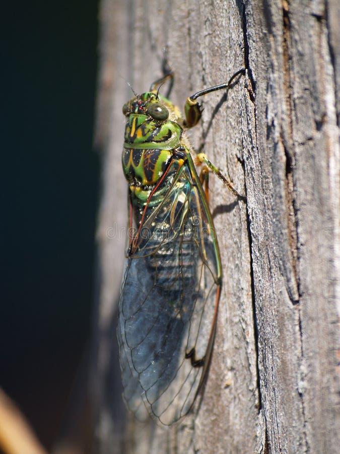 Macro van cicadeinsect stock foto's
