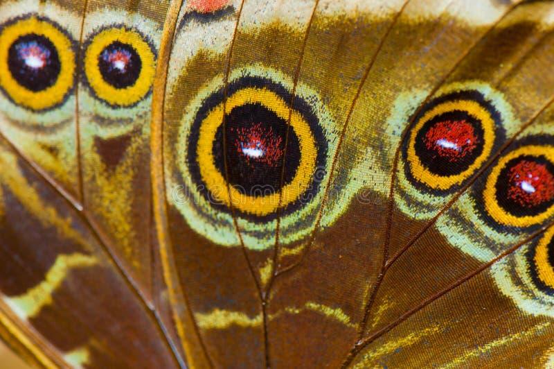 Macro van de blauwe vleugel van de morphovlinder royalty-vrije stock foto