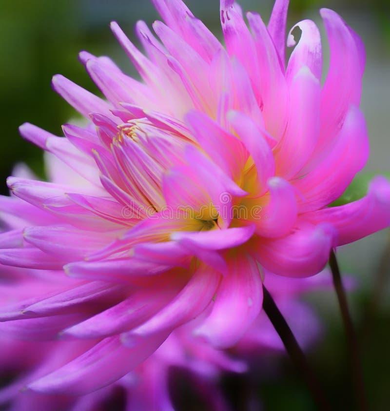 macro van de de kleurenschoonheid van de dahliabloem de roze royalty-vrije stock afbeelding