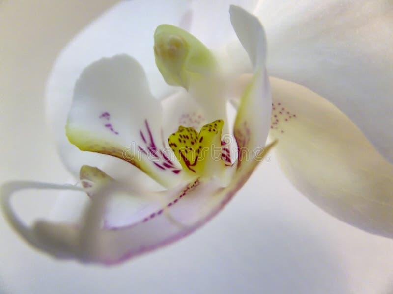 Macro van de mooie witte bloem hoofddiePhalaenopsis van de phalaenopsisorchidee als de Mottenorchidee of Phal wordt bekend royalty-vrije stock foto