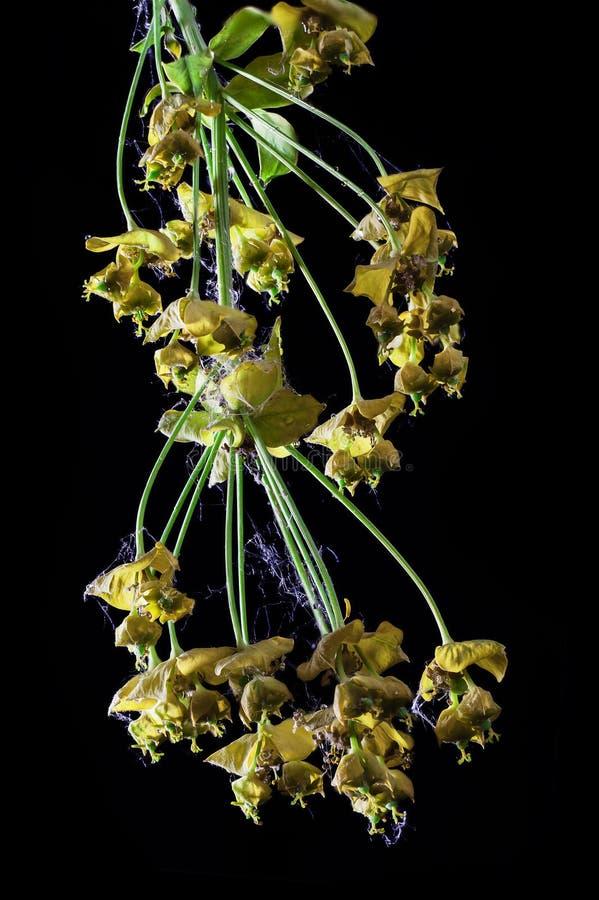 Macro van de Spurge de droge bloem stock afbeeldingen
