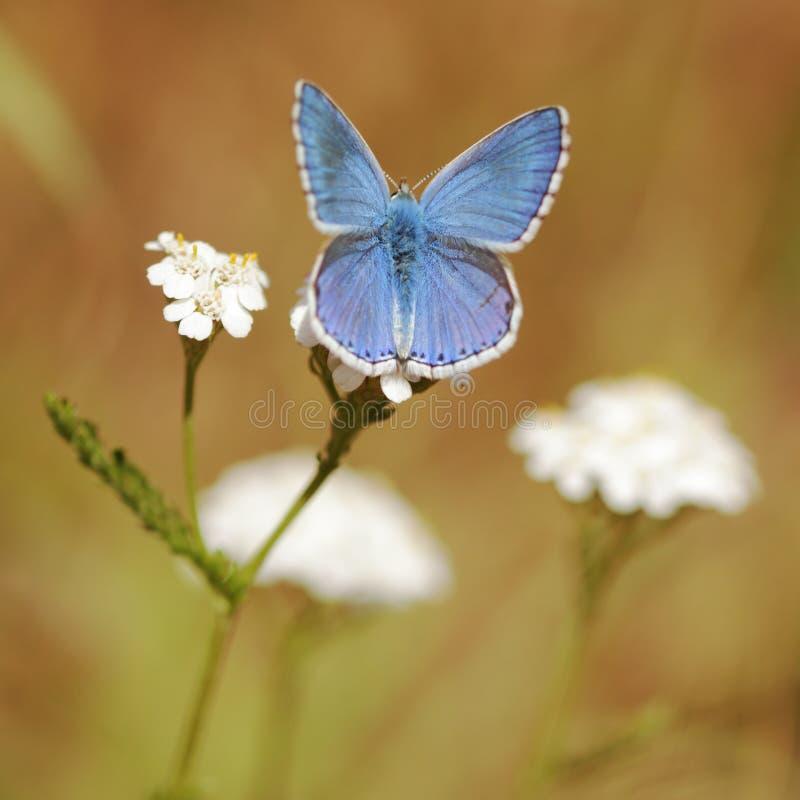 Macro van de Vlinder van Adonis de Blauwe stock afbeeldingen