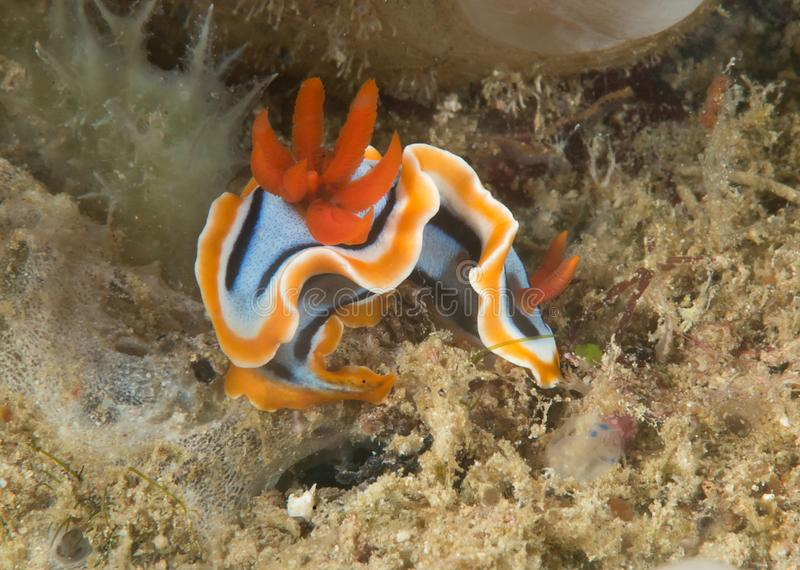 Macro van een anna ` s prachtige naaktslak, Chromodoris-annae die nudibranch op koralen van Bali kruipen royalty-vrije stock fotografie