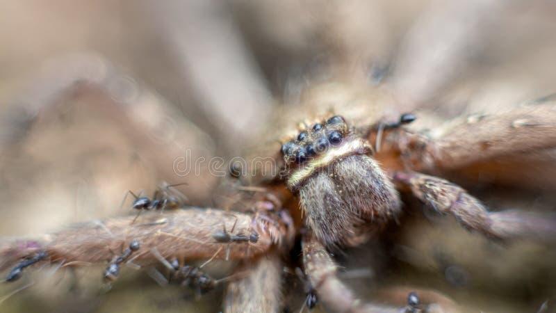 Macro van een groep mieren die en een reuzekrabspin aanvallen eten stock foto's