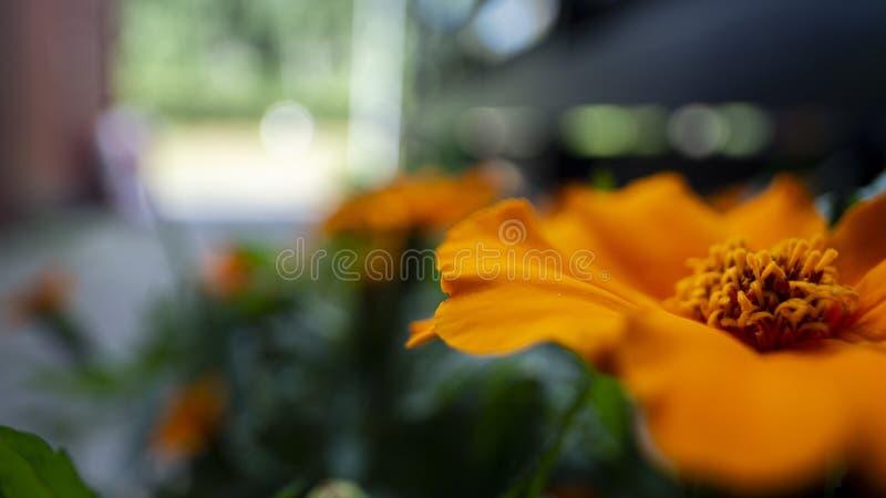 Macro van een grote oranje bloem in tuin royalty-vrije stock afbeeldingen