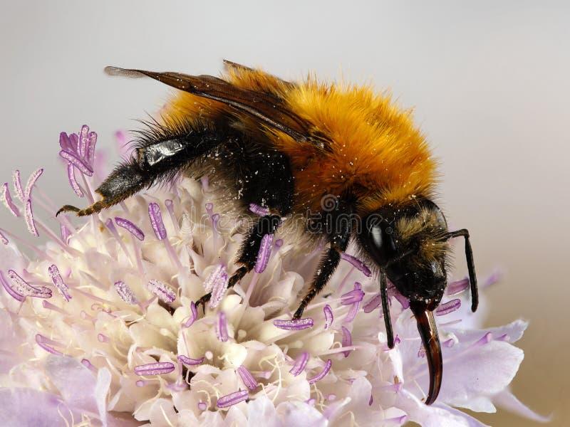 Macro van een insect: Bombuspascuorum royalty-vrije stock afbeeldingen