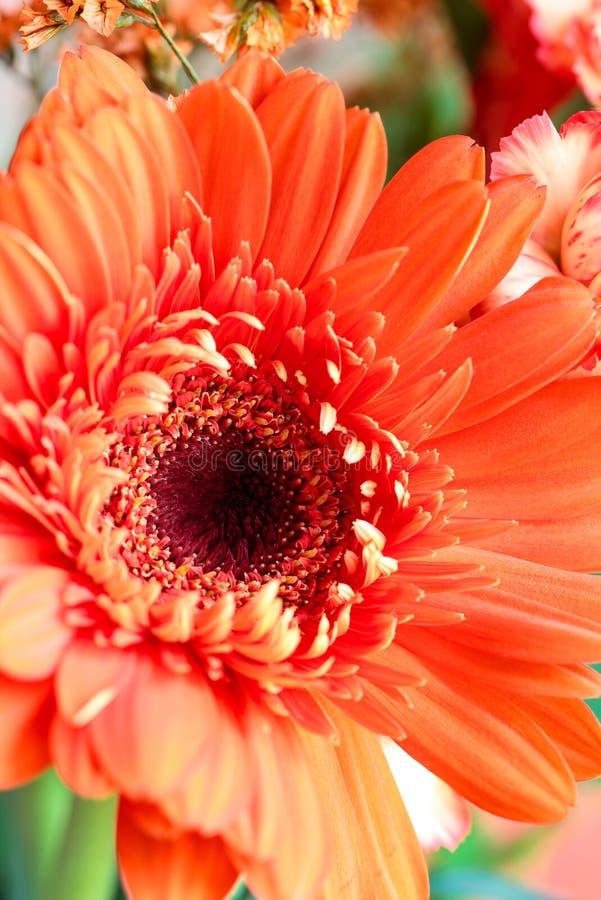 Macro van een mooi koraal met een kleurige Gerbera Daisy royalty-vrije stock foto