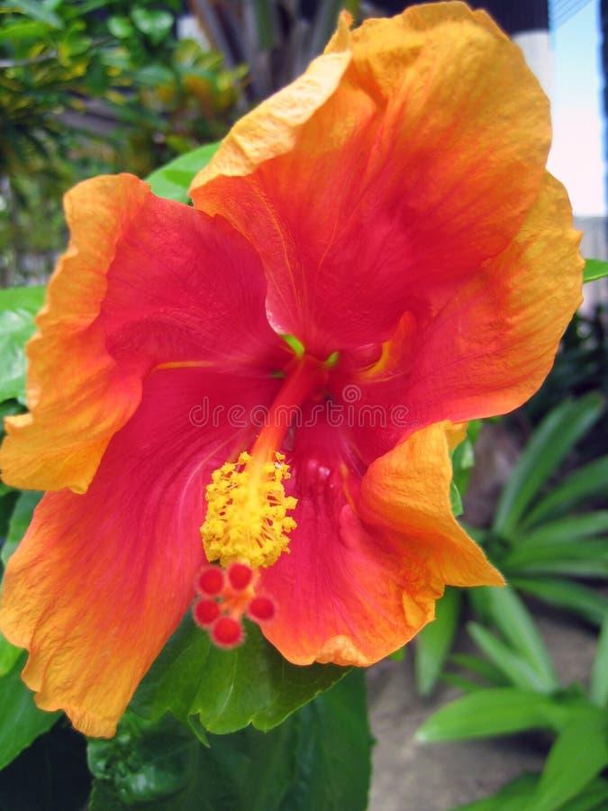 Macro van een mooie oranjerode Hawaiiaanse hibiscus wordt geschoten die stock fotografie