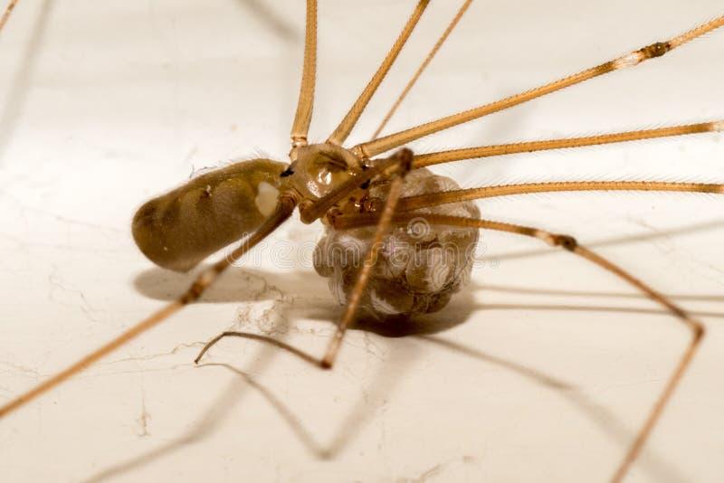 Macro van een spin met deze jonge geitjes Pholcus phalangioides royalty-vrije stock afbeeldingen