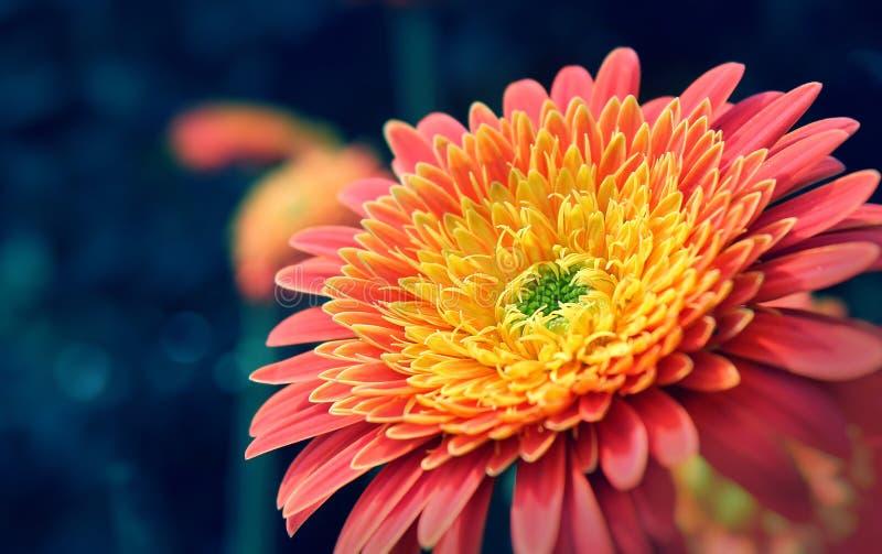Macro van een trillende oranje bloem wordt geschoten die stock afbeeldingen