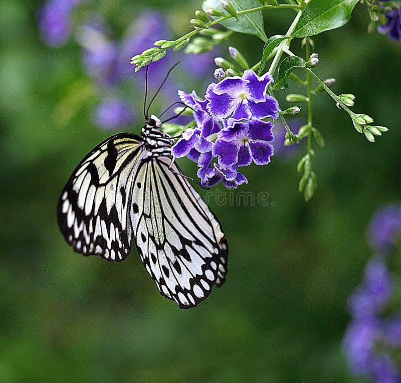 Macro van een vlinder van de de boomnimf van beautifilceylon op een purpere bloem stock afbeeldingen