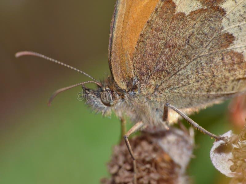 Macro van een vlinder op een braam, foto in het UK wordt genomen dat royalty-vrije stock fotografie