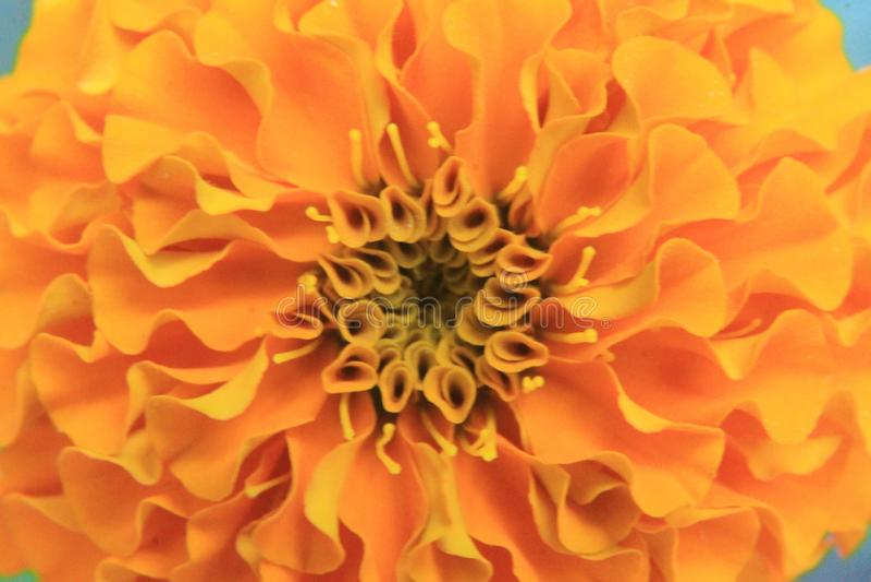 Macro van gele of oranje de bloembloemblaadjes van Tagetes of van de goudsbloem wordt geschoten voor achtergrond die royalty-vrije stock foto