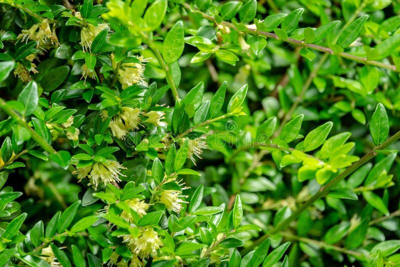 Macro van gevoelige roomklokken het bloeien pileata van kamperfoelielonicera met kleine groene bladeren Elegante Natuurlijke Acht stock foto's