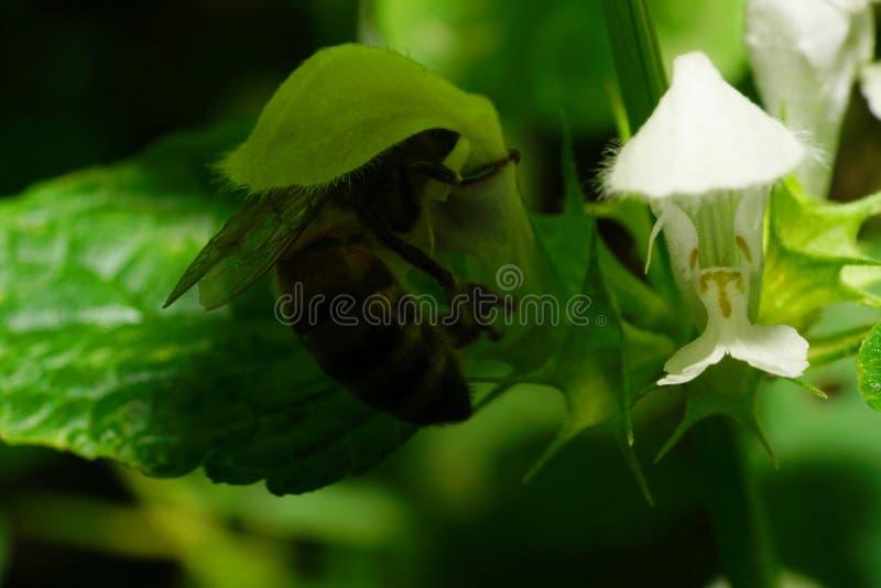Macro van grote rode Kaukasische die bijen onder bloemnetel Lam wordt verborgen stock afbeeldingen