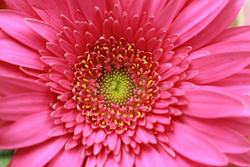 Macro van het Roze Bloeien Gerbera Daisy stock afbeeldingen