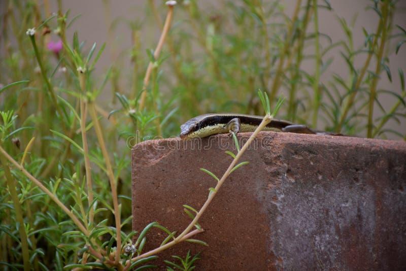 Macro van kameleon of hagedis in tuin Mooi en elegant Reptiel stock fotografie