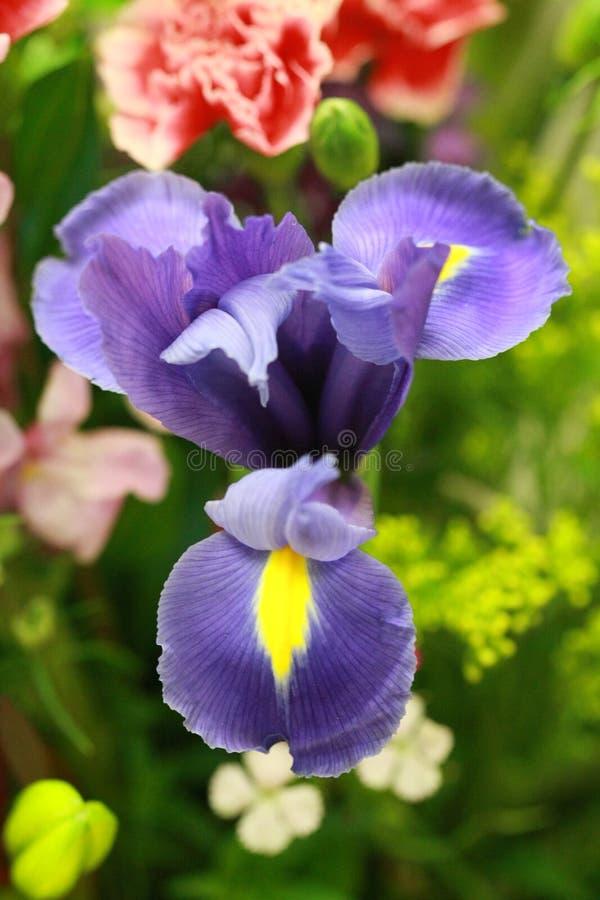 Macro van Lavendel Blauwe Bloeiende Iris stock foto's