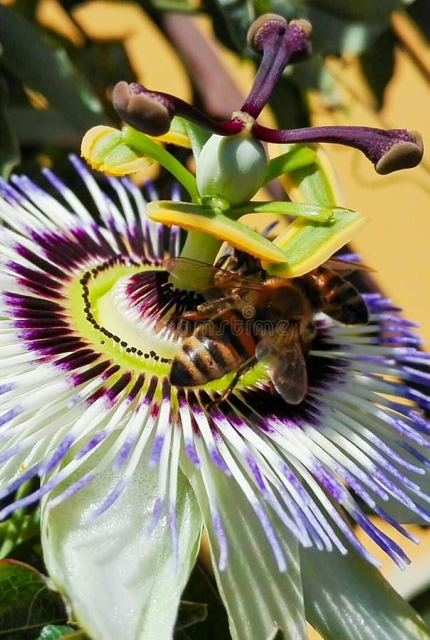 Macro van passiebloem met twee bijen royalty-vrije stock foto's