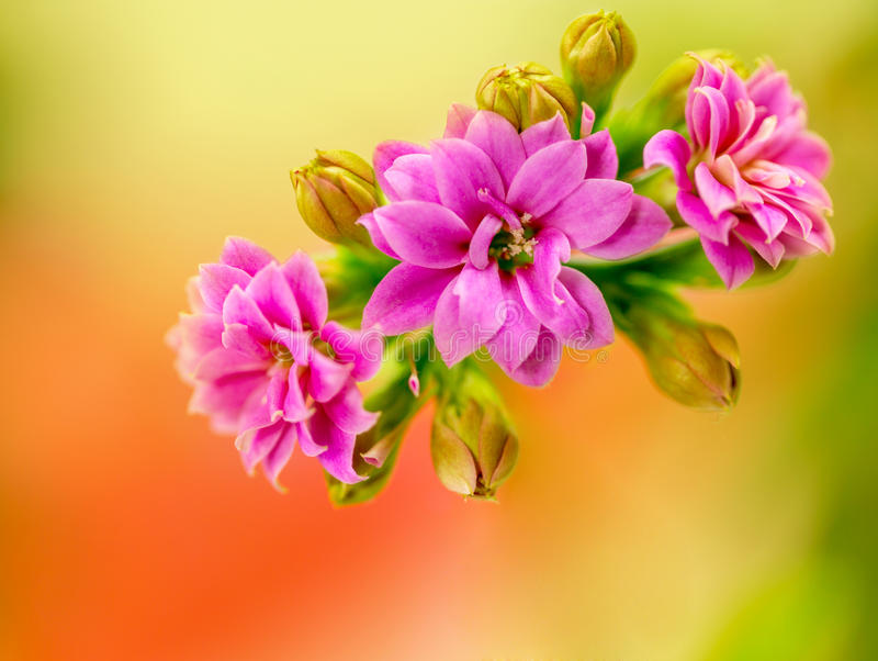 Macro van roze bloemen stock foto's