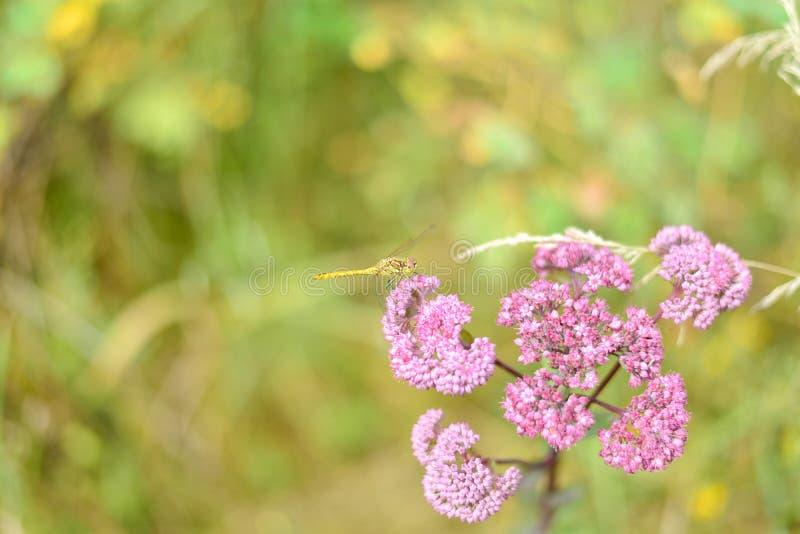 Macro van roze bloemen op een achtergrond van geelgroen gras wordt geschoten dat royalty-vrije stock afbeelding