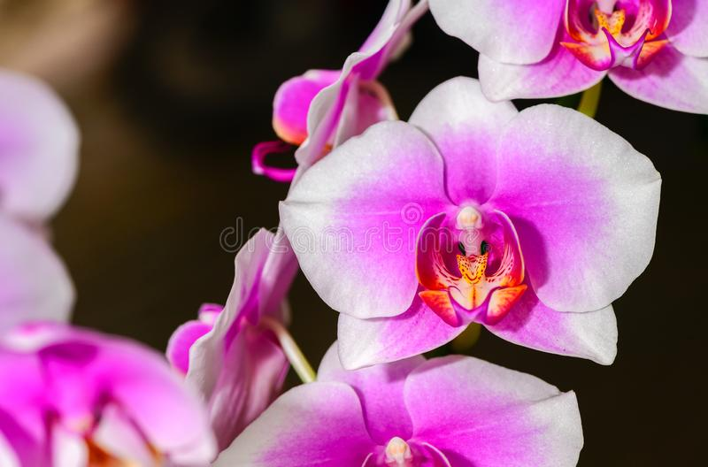 Macro van roze en witte Phalaenopsis-orchidee royalty-vrije stock foto