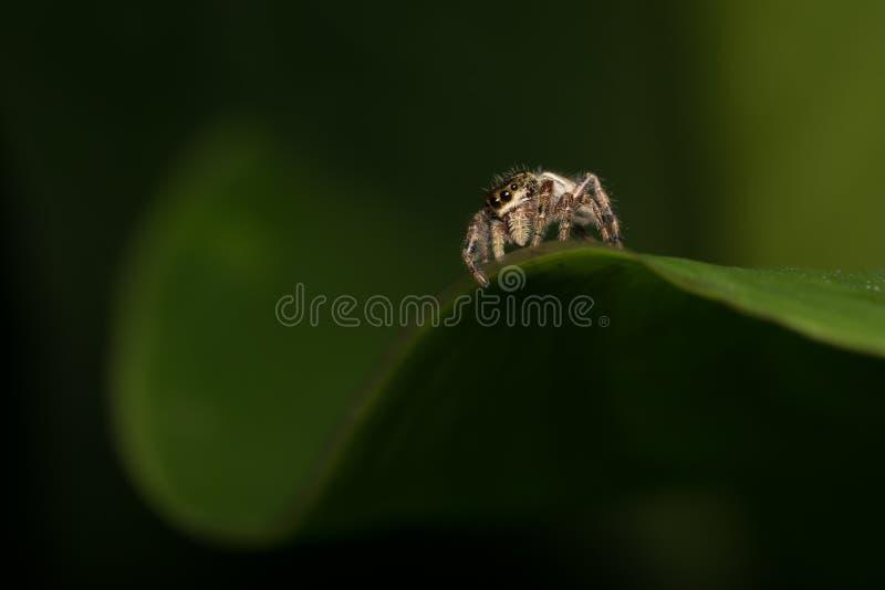 Macro van Uiterst kleine het Springen Spin op Gebogen Groen Blad royalty-vrije stock foto