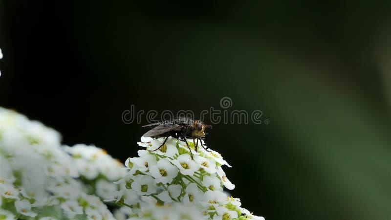 Macro van Vlieg met grote ogen op witte die bloem op zwarte achtergrond wordt ge?soleerd Aard en wilde het levensachtergrond groo stock foto's