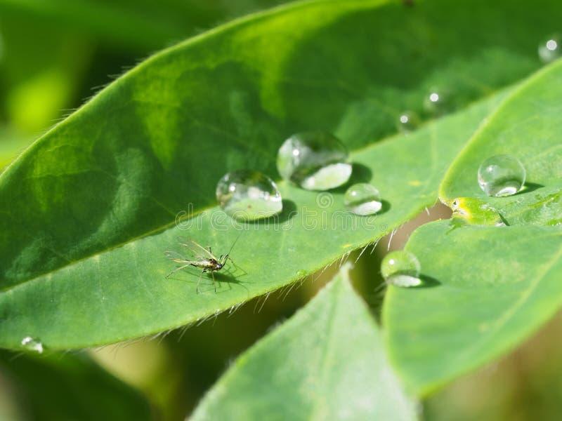Macro van waterdalingen wordt geschoten op lupineblad met een klein insect dat royalty-vrije stock foto's