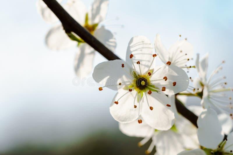 Macro van witte kersenbloesems op een takje, backlit door zonlicht - kopieer ruimte stock fotografie