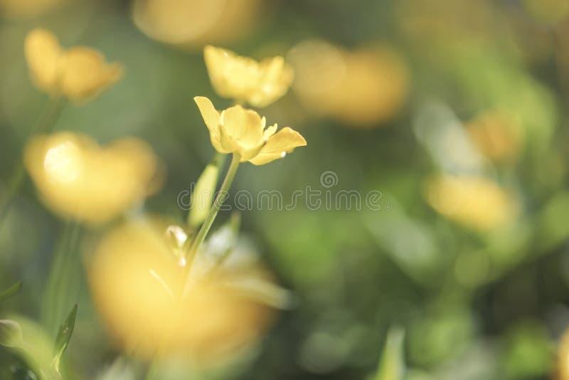Macro verde de BlurrBlurry e amarelo natural do fundo do prado Foco macio Profundidade de campo rasa Imagem tonificada do vintage foto de stock
