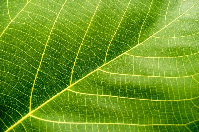 Macro verde de la hoja fotografía de archivo libre de regalías