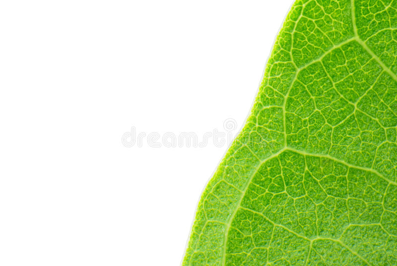 Macro verde del foglio fotografia stock