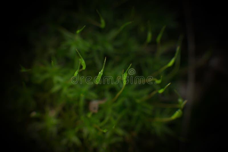 Macro verde do musgo fotografia de stock royalty free