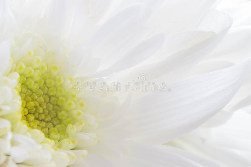 Macro of beautiful white flowers with light green pollen good for love season or valentine day background selective focus. Macro of very beautiful white flowers royalty free stock photos